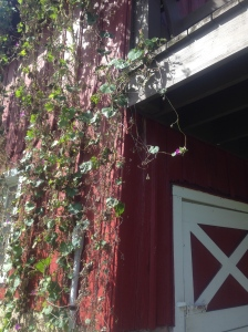 Morning glories from Diane Ott Whealy's grandfather's seed collection growing on the side of the Heritage Farm barn